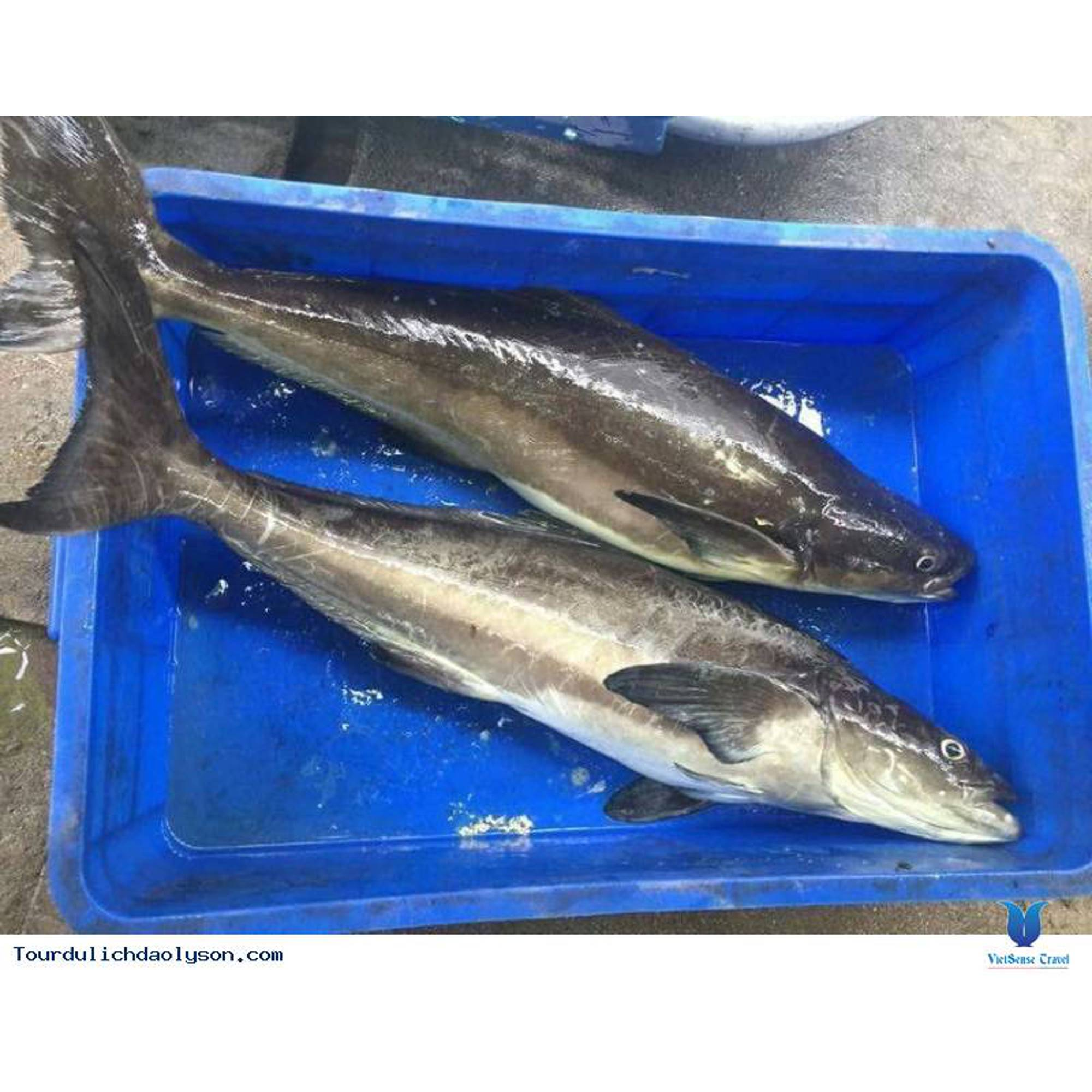 Cá bớp thiên nhiên Lý Sơn cắt lát (khoanh)