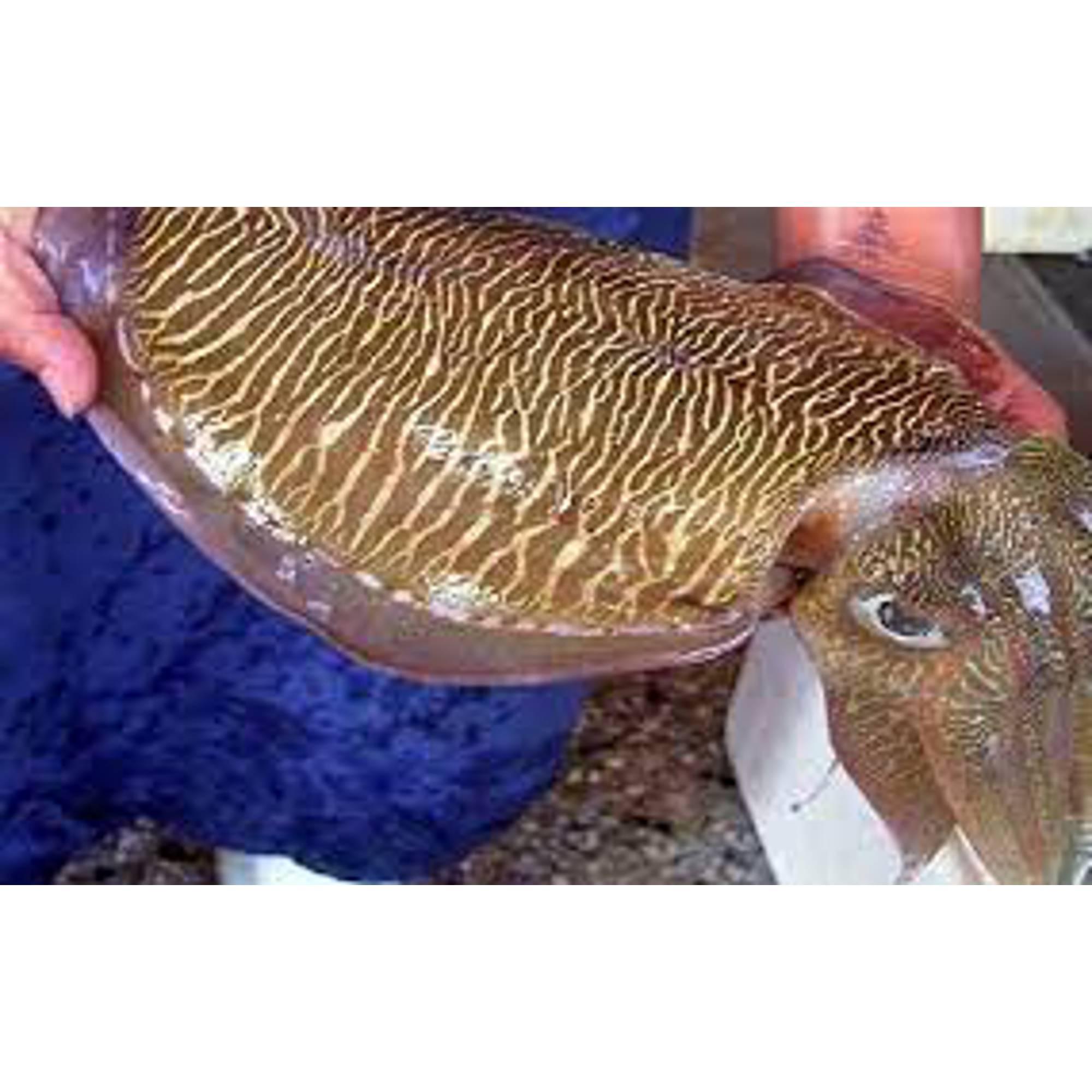 Mực nang tươi Lý Sơn (con từ 900gr đến 1,7kg)