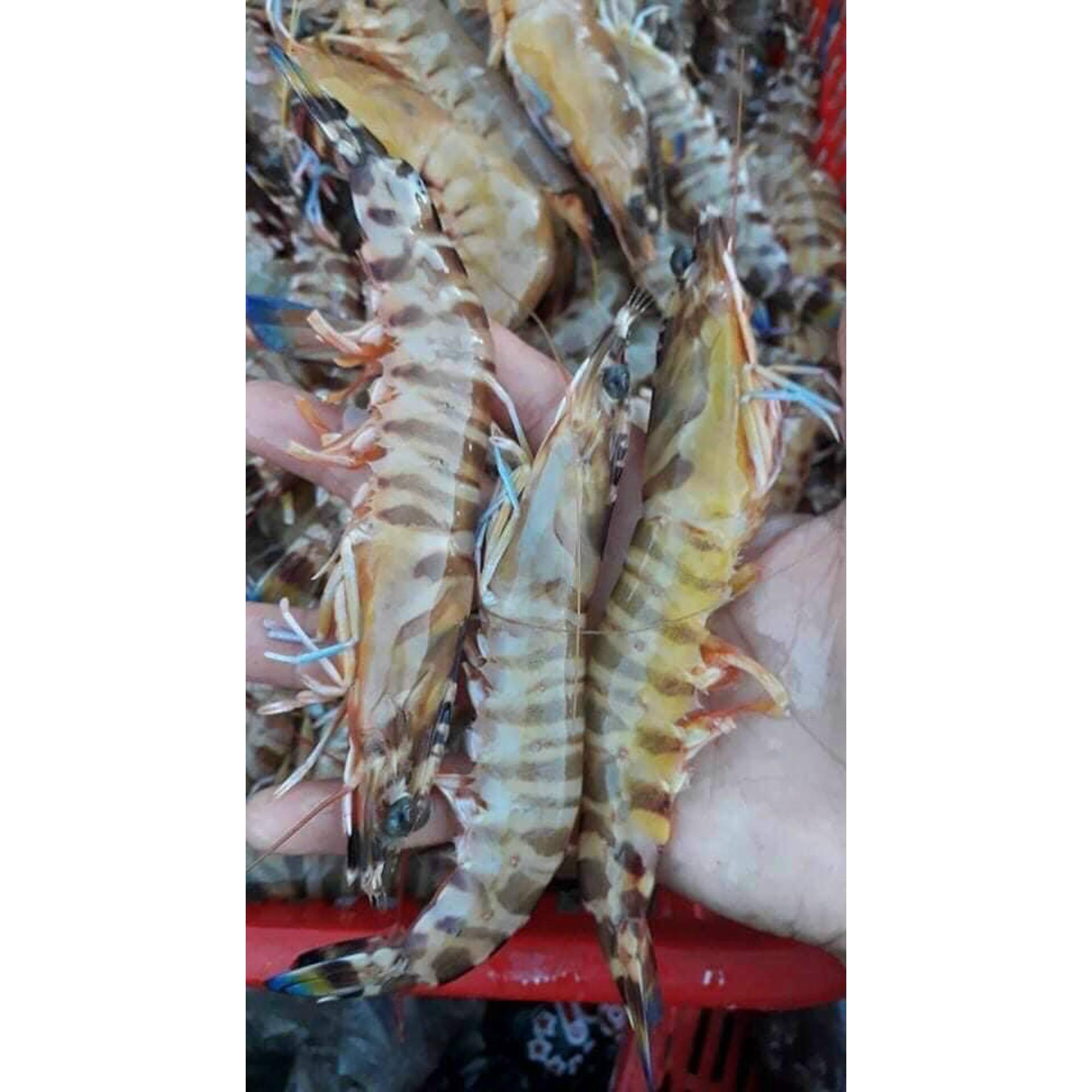 Tôm vằn biển Lý Sơn tự nhiên 100%